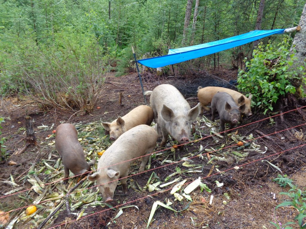 Our Talkeetna meat CSA focuses on pig shares and piglets, part of the whole ecosystem at our cold climate permaculture alaska farm