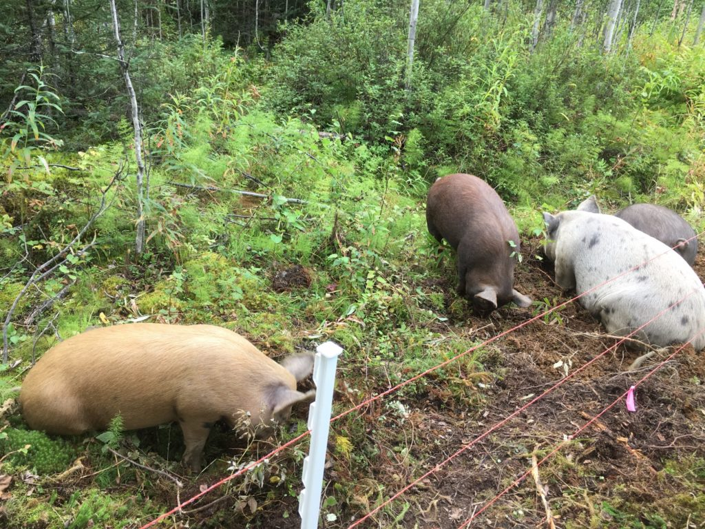 People looking for alaska volunteer opportunities sometimes end up on our cold climate permaculture farm - a farm in Talkeetna Alaska - helping with the Talkeetna CSA parts of our operation, including taking care of the Meat CSA pigs and piglets