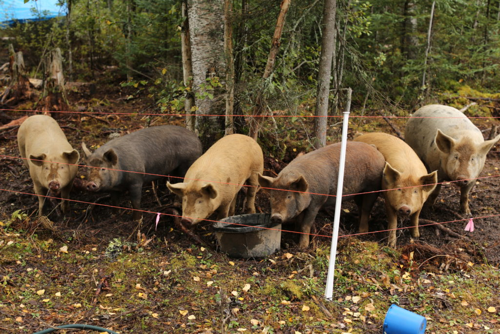 On our cold-climate permaculture Talkeetna Farm, pigs are an integral species loved by Talkeetna CSA customers