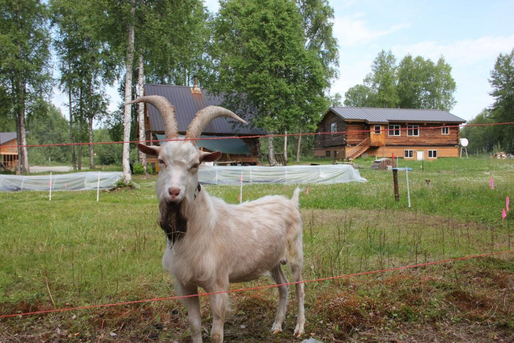 Bare Hands Farm became The Grove - a cold climate permaculture Talkeetna Farm
